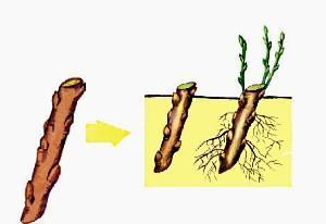 Размножение крыжовника - отводками, черенками, способы, видео