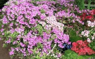 Выращиваем садовую азалию или как посадить и ухаживать за уличным рододендроном