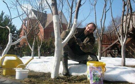 Зачем нужна побелка плодовых деревьев весной, сроки ее проведения