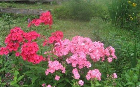 Флоксы красные и розовые – страсть и нежность сортов для вашей коллекции
