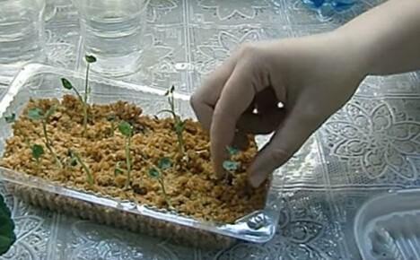 Уникальный метод выращивания рассады настурции в горячих опилках