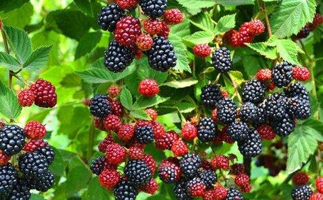 Полезные свойства лесной ягоды ежевики и противопоказания к употреблению
