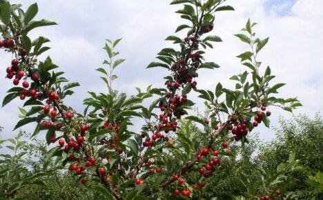 Выбор и время посадки саженца вишни