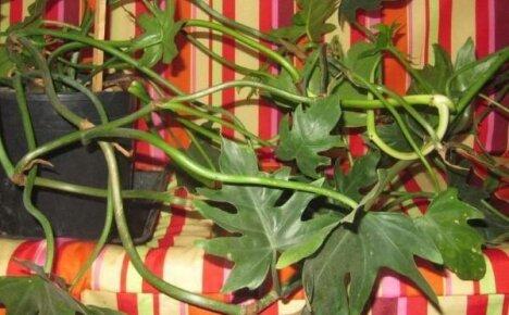 Дольчатый филодендрон – зеленая лиана у вас дома