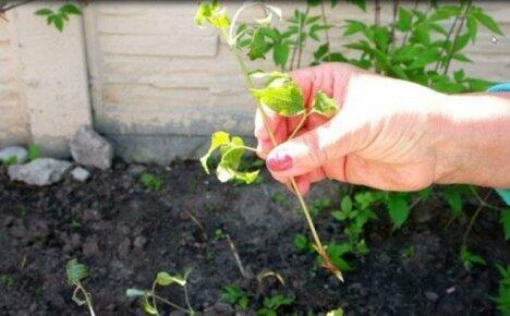 Успешное размножение клематиса черенками