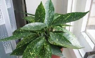 Уход за аукубой в домашних условиях – как вырастить пышный куст