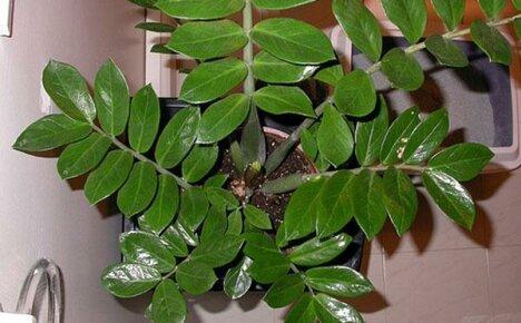 Популярный элемент домашнего интерьера — долларовое дерево
