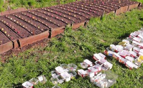 Особенности посадки гладиолусов в открытый грунт