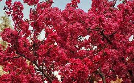 Украсить пейзаж перед окном поможет декоративная яблоня Недзвецкого
