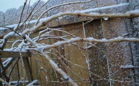 Готовим кампсис к зиме: когда и как его надо укрывать