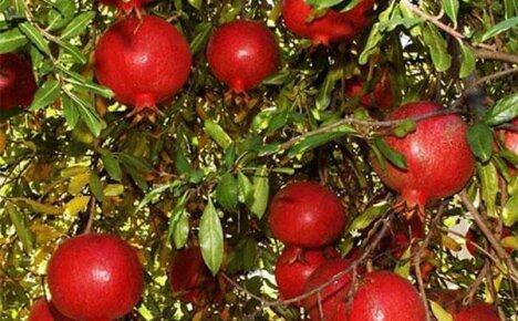 Как растет «ларец» полезных микроэлементов – несравненный королевский фрукт гранат