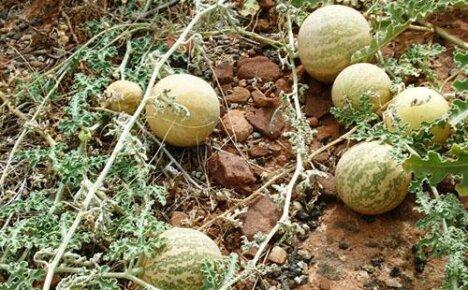 Фото и описания распространенных и уникальных сортов арбузов