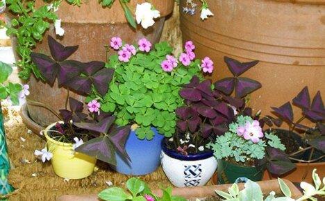 Фото с описанием садовых и комнатных видов оксалиса кислицы