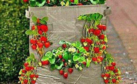 Выращивание клубники в мешках — все тонкости и секреты!