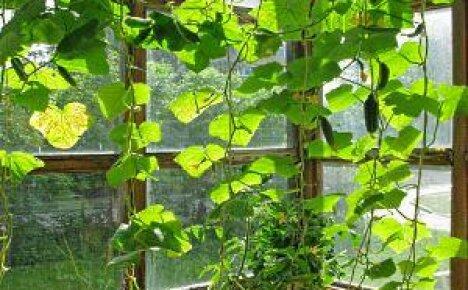 Выращивание огурцов на подоконнике: правила и секреты