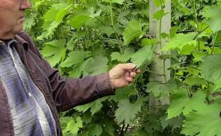 Уход за виноградом после цветения для получения хорошего урожая