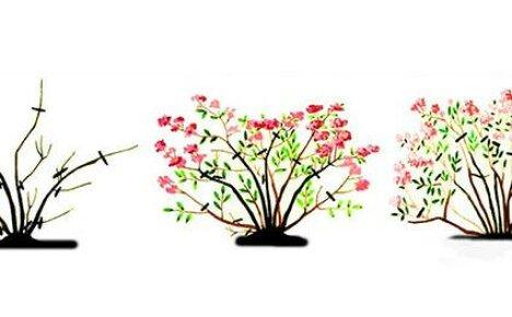 Уход за спиреей и осенняя обрезка кустарника