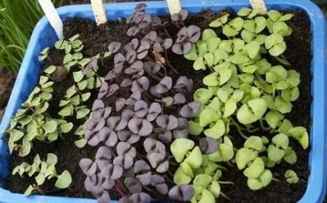 Как вырастить рассаду базилика в домашних условиях?