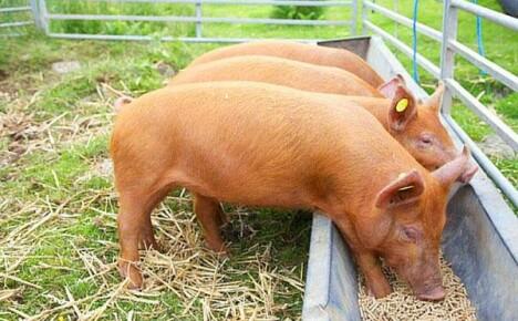 Подбираем поилки и кормушки для свиней