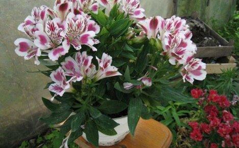 Выращивание альстромерии в домашних условиях: посадка, размножение, полив