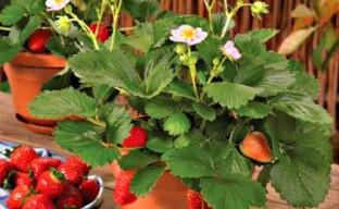 Проращиваем клубнику для выращивания на подоконнике