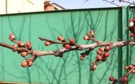 Почему не плодоносят абрикосы