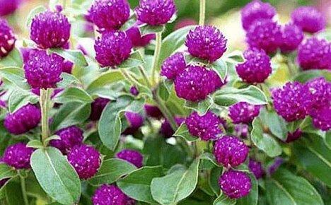 Основные приемы посадки «бессмертного» цветка гомфрены