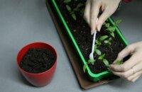 Пикируем рассаду перца: как правильно это делать