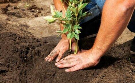 Когда сажать пионы: сроки осенней и весенней посадки