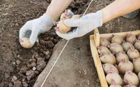 Посадка картофеля в июне: можно или нет, плюсы и минусы способа