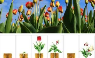 Тюльпаны и 10 циклов их жизни — от посадки до выкопки