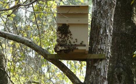 Ловушка для пчел: изготовление и места установки