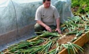 Легкий способ выращивания лука (видео)