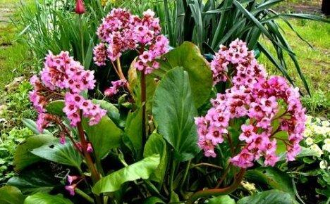 Бадан — шикарное цветение многолетника