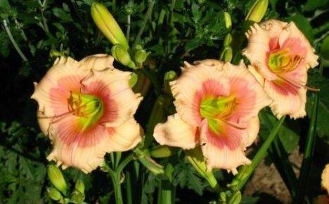 Обильноцветущий нежный лилейник Дженис Браун