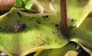 Вредители-почвенные мошки на комнатных цветах и рассаде