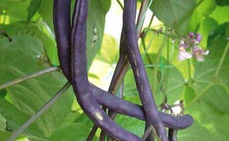 Узнайте о пользе и вреде черной фасоли