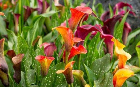 Что мы знаем о посадке и уходе за каллой садовой?