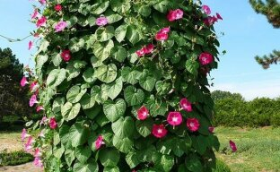 Решение дилеммы с ипомей: либо листва, либо цветы