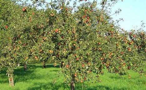 Важно знать почему у яблони чернеют и засыхают листья