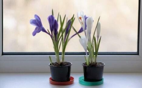 Как ухаживать за крокусами в домашних условиях: секреты для начинающих цветоводов