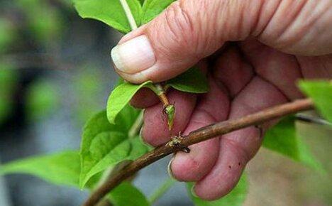 Проводим размножение спиреи зелеными черенками