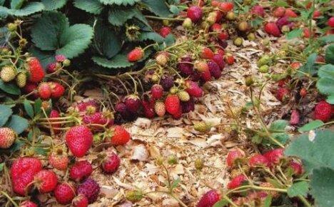 Как выращивать клубнику: популярные способы