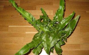 Олений язык для зимнего сада — выращиваем асплениум сколопендровый