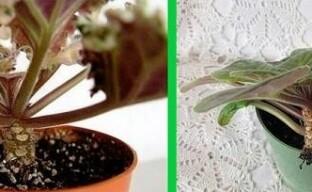 Омолаживаем старую фиалку или зачем цветку «сносят голову»