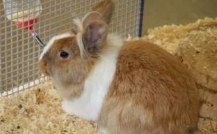Профилактика и лечение кокцидиоза у кроликов