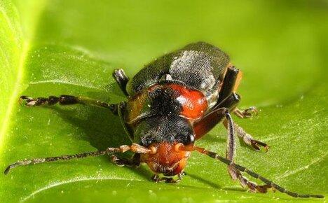 Непривередливый помощник садоводам – жук пожарник
