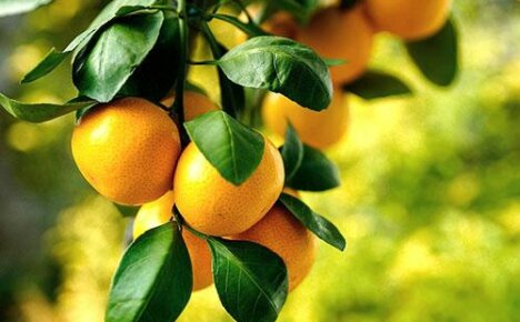 Польза и вред мандарина