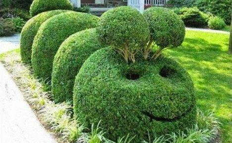 Отличная идея для живой изгороди без лишних хлопот — кизильник блестящий
