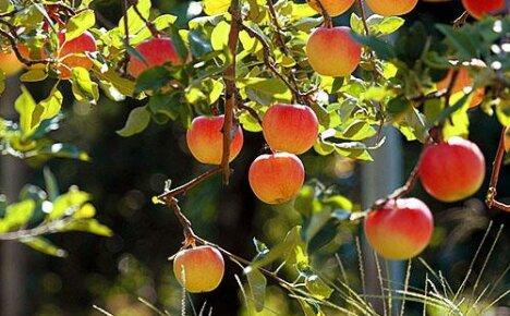 Давайте узнаем как правильно посадить яблоню летом